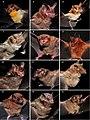 Bat species (10.3897-zoologia.37.e36514) Figures 4–15.jpg