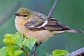 Bay-breasted Warbler by Dan Pancamo 2.jpg