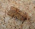 Beaded Chestnut. Agrochola lychnidis (49304466462).jpg
