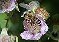 Bee on flower (42631449232).jpg