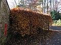 Beech hedge, Hindley - geograph.org.uk - 1056774.jpg