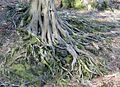 Beech tree eroded roots.JPG