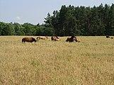Belarus-Minsk Province-Horses.jpg