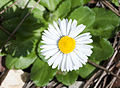 Bellis sp. 01.jpg