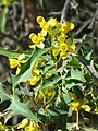 Berberis harrisoniana 004.jpg