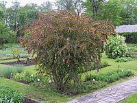 Berberis thunbergii `Atropurpureum`.jpg