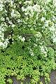 Berlin-Dahlem, botanischer Garten, Podophyllum peltatum.JPG