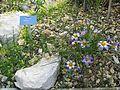 Berne botanic garden Crocus sieberi.jpg