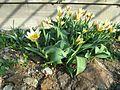 Berne botanic garden Tulipa kaufmanniana1.jpg