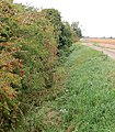 Berries beside a drainage ditch - geograph.org.uk - 1516743.jpg