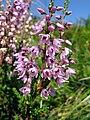 Besenheide (Calluna vulgaris).jpg