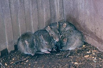 Bettongia penicillata at Gorge Wildlife Park.JPG