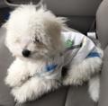 Bichon Frisé puppy in white onesie.png
