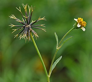 Bidens - Bidens pilosa, fruiting head and flower head