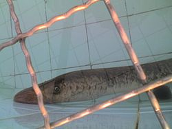 definition of lamprey