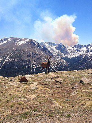 2013 Colorado wildfires - Smoke from the Big Meadows fire rises above the continental divide as seen from Trail Ridge Road. A Rocky Mountain elk stands in the foreground.