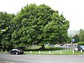 Big trees on the village green, Rosedale Abbey - geograph.org.uk - 1607372.jpg