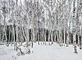 Birch grove, Fielding Bird Sanctuary.jpg