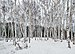 Birch grove, Fielding Bird Sanctuary.jpg