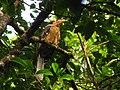 Bird White throated Brown Hornbill Anorrhinus austeni IMG 8142 09.jpg