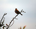 Bird in a tree (1464557348).jpg