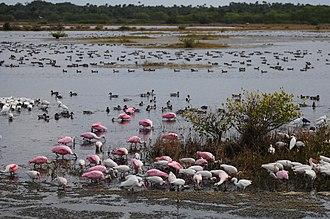 Merritt Island National Wildlife Refuge - Ibises, roseate spoonbills and egrets at Merritt Island NWR.