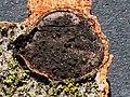 Biscogniauxia nummularia-3.jpg