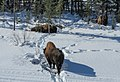 Bison in the Snow (15830004519).jpg