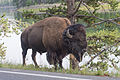 Bison near the Yellowstone River.jpg