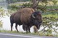 Bison near the Yellowstone River.jpg