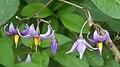 Bittersweet Nightshade (Solanum dulcamara) - Kitchener, Ontario 02.jpg