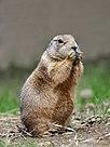 Black-Tailed Prairie Dog.jpg