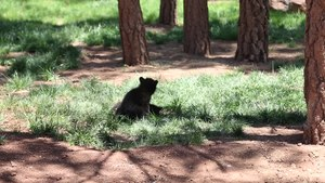 File:Black Bear Cubs Wrestling in Bearizona, Arizona.webm