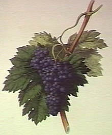 Black Corinth Grape.jpg