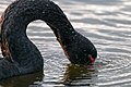 Black Swan (29219800592).jpg