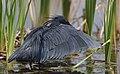 Black heron, Egretta ardesiaca, at Marievale Nature Reserve, Gauteng, South Africa. (28293695329).jpg