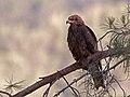 Black kite at Upper Galilee.jpg