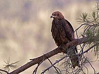 Black kite at Upper Galilee.jpg