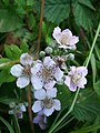 Blackberry Flowers, Flamstone Farm - geograph.org.uk - 869009.jpg