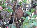 Blackbird, Bystrc 05.JPG