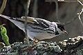 Blackpoll Warbler (male) Sabine Woods TX 2018-04-22 14-43-57 (27122876047).jpg