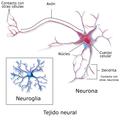 Blausen 0672 NeuralTissue esp.png