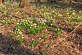 Bledule jarní v PR Králova zahrada 15.jpg