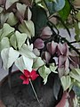 Bleeding-heart Vine.jpg
