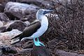 Blue-footed Booby (4884592577).jpg