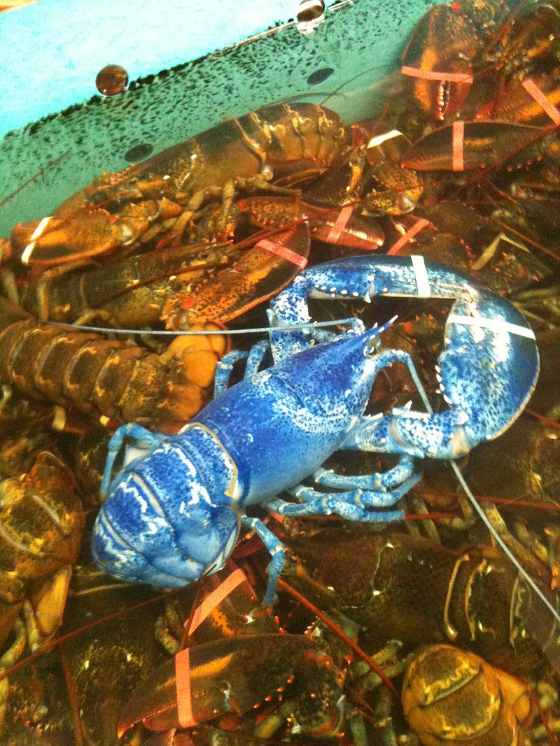 800px-Blue-lobster-jane.jpg