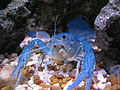Blue Crayfish in Aquarium.JPG