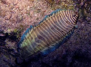 Soleichthys heterorhinos - Soleichthys heterorhinos in Egypt under normal illumination