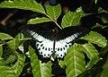 Blue Mormon Papilio polymnestor by Dr. Raju Kasambe DSCN4781 (9).jpg