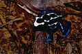 Blue Poison Dart Frog (Dendrobates tinctorius) (10672787396).jpg